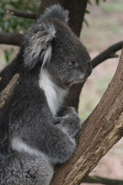 Koala with arms crossed