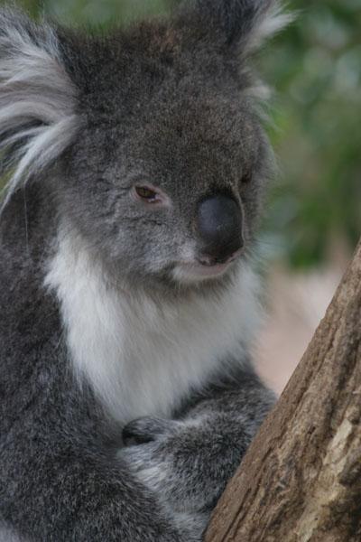 Koalas have big noses
